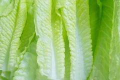 Cos Lettuce Leaves fresco Fotografia Stock Libera da Diritti