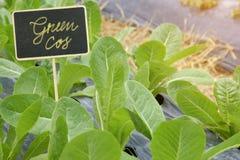 Cos Lettuce organique dans des lits de plantation photos stock
