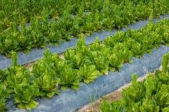 Cos Lettuce ou laitue romaine Photographie stock libre de droits