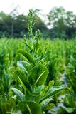 Cos Lettuce ou Romaine Lettuce Photos stock