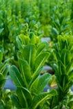 Cos Lettuce ou Romaine Lettuce Photographie stock