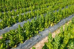 Cos Lettuce ou Romaine Lettuce Image libre de droits