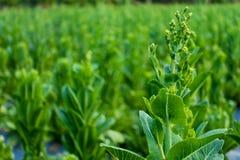 Cos Lettuce ou Romaine Lettuce Photo libre de droits