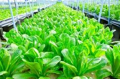 Cos Lettuce, Romaine Lettuce. Hydroponics vegetable farm in Thailand Stock Photos