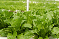 Cos Lettuce, Romaine Lettuce Stock Photography