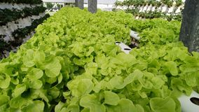 Cos Lettuce in un'azienda agricola idroponica Fotografia Stock Libera da Diritti