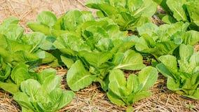 Cos lettuce Stock Image