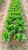 Cos lettuce Stock Photos