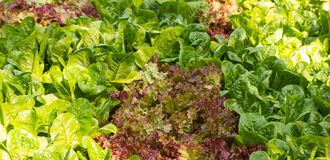 Cos and red oak vegetable field Royalty Free Stock Photos
