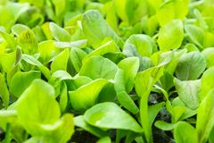 Cos romaine. Lettuce in the planting and growing Royalty Free Stock Photos