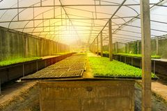 Cos romaine. Seedlings cos romaine lettuce plants because nurseries. Roof transparent background is soft morning sunlight Stock Photos