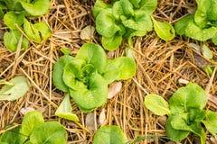 Cos warzywa Fotografia Stock