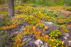 Cosatal flowers cala bona majorca Stock Images