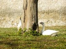 Coscoroba łabędzia para na słonecznym dniu odpoczywa na zielonych graas zdjęcie stock