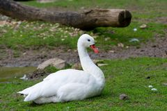 Coscoroba Swan Royalty Free Stock Photos