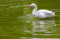 Coscoroba Swan Stock Images