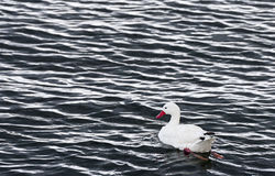 Coscoroba swan Stock Photography