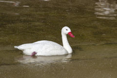 Coscoroba Swan that floats on the lake in a spray Stock Images