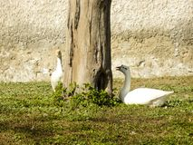 Coscoroba swan pair on a sunny day resting on green graas stock photo