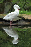 Coscoroba swan Royalty Free Stock Images