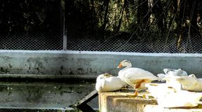 Coscoroba swan resting in the zoo on a sunny day in chatver zoo chandigarh stock images