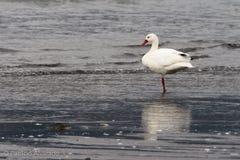 Coscoroba Swan stock image