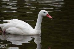 Coscoroba swan Stock Photography