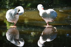 coscoroba swan Stock Photo