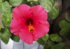 Cose de ketmie rosa, de porcelaine rose ou de fleur de chaba Photographie stock libre de droits