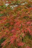 Cose-up of the branches of decorative red maple Acer japonicum i. Close-up of branches of decorative red maple Acer japonicum growing in the foothills of the Stock Photo