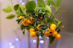 Cose Up Photo of Orange Fruit Bonsai Royalty Free Stock Photos