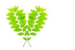 Cose up zielony liść gwiazdowy agrestowy drzewo Obrazy Royalty Free