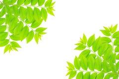 Cose up zielony liść gwiazdowy agrestowy drzewo Zdjęcie Stock