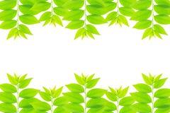 Cose up zielony liść gwiazdowy agrestowy drzewo Fotografia Royalty Free