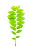 Cose up zielony liść gwiazdowy agrestowy drzewo Zdjęcia Royalty Free