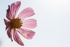 Cose-upkosmosblume auf weißem Hintergrund stockfotografie