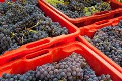 Cosecha 01 de la uva Imagen de archivo