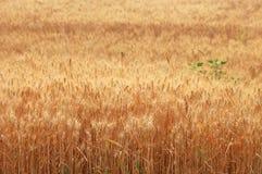 Cosecha 8 del trigo imagen de archivo libre de regalías