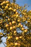 Cosecha abundante de manzanas Foto de archivo libre de regalías
