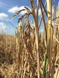 cosecha, arroz, campo fotografía de archivo