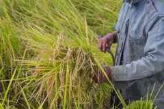 Cosecha asiática del granjero de la gente del campo del arroz en la estación de la cosecha Foto de archivo