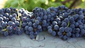 Cosecha azul de las uvas almacen de metraje de vídeo