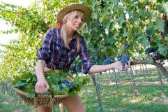 Cosecha campesina joven de la uva entre los viñedos Fotos de archivo