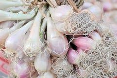 cosecha con bulbo de la cebolla Fotos de archivo