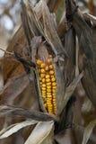 Cosecha dañada sequía del maíz Fotos de archivo libres de regalías