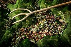 Cosecha de aceitunas Foto de archivo libre de regalías