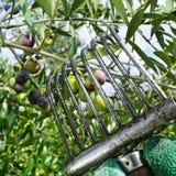 Cosecha de aceitunas del arbequina en una arboleda verde oliva en Cataluña, Spai Foto de archivo libre de regalías