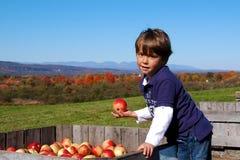 Cosecha de Apple Imágenes de archivo libres de regalías