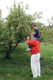 Cosecha de Apple en los hombros del papá Foto de archivo libre de regalías