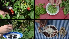 Cosecha de bayas y guisantes y habas de la legumbre en jardín collage almacen de video